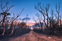 The Charred Road || TABLELANDS ROAD || WENTWORTH FALLS (rhyspope) Tags: road street new blue sunset pope black mountains tree wales forest sunrise canon fire woods rocks south sigma australia falls wentworth burnt aussie avenue 1020 rhys wildfire tablelands bushfire charred 500d rhyspope