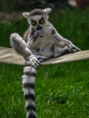 Serengetitpark Hodenhagen (Sf) Tags: germany deutschland lumix zoo panasonic g6 serengetipark hodenhagen