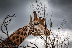 RickmarPhotography-4.jpg (rickmar1905) Tags: giraffe rickmarphotography