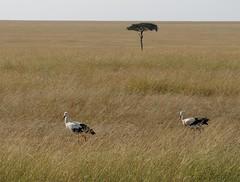 Kenya (Masai Mara) Tiny acacia is not alone (ustung) Tags: nature nikon kenya acacia lanscape masaimara stolks