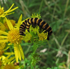 Cinnabar (Bricheno) Tags: island scotland clyde moth escocia caterpillar arran isleofarran szkocja schottland scozia cosse firthofclyde glenrosa  esccia  scotlandinminiature  bricheno scoia cinnabarmothbrodick