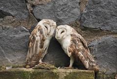 Tyto alba DT [I Parque Condor] (1) (Archivo Murcilago Blanco) Tags: alba strigiformes lechuza tyto tytonidae tirira diegotirira archivomurcielagoblanco