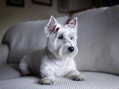 puppy cut (paulh192) Tags: portrait home digital sad westie hasselblad terrier westhighlandwhiteterrier snoopi littledoglaughedstories