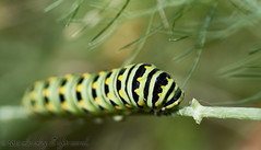 _49A0772 (mikeconley) Tags: usa green insect vermont wildlife middlebury caterpillar