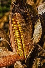 Talbotville Berry Farm 06 (Russ Zara) Tags: autumn corn harvest russ zara vegetablestand driedcorn sonyslta77v russzara rzara talbotvilleberryfarm