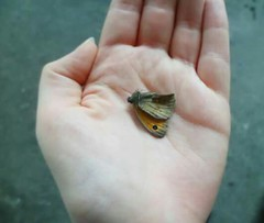 IMG_20151018_104955 (Nicolaspeakssometimes) Tags: nature butterfly death foundthings