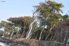 002 Windflüchter am darß (modekopp) Tags: eastsee ostsee fischland dars zingst darss nikond90 d90 nikon 70300