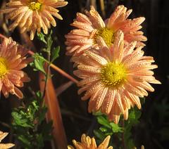 02-IMG_0204 (hemingwayfoto) Tags: orange herbst natur hannover blume blte morgentau blhen berggarten facebookalbum winteraster
