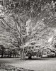 As the Leaves Fade Away (mjardeen) Tags: park blackandwhite bw white plant black tree fall leaves zeiss ir oak outdoor sony infrared wa converted tacoma wright f4 oss 2470mm a7ii 720nm landscapesshotinportraitformat a7m2