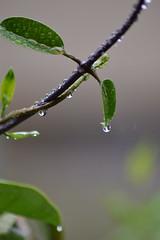 DSC_0262 (fernandojaviergallegos1983) Tags: verde rain lluvia drop gota jazmin
