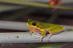 Cooloola Sedge Frog (R. Francis) Tags: qld queensland straddie stradbrokeisland northstradbrokeisland southeastqueensland litoriacooloolensis cooloolasedgefrog ryanfrancis ryanfrancisphotography
