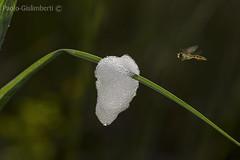 Sirfide in volo verso nido di schiuma. Syrphidae in flight and a foamy nest (paolo.gislimberti) Tags: macro flight insects volo mimicry insetti mimetismo ditteri dipterons