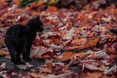 Autumn (fransiskapippi) Tags: autumn red cats black leave nature beautiful beauty leaves animal animals foglie cat blackcat little country natura campagna foglia tamron autunno rosso gatto animali bellezza littlecat gattonero flickrbest flickr20u20