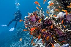Marsa Shouna Reef - Marsa Alam Egypt (lucien_photography) Tags: fish coral underwater redsea egypt diving scubadiving reef poissons marsaalam corail fantasea coraya marsashouna canong7x seaseays03