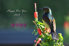 Happy New Year 2016 (Lim SK) Tags: new sun bird year greeting