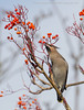 Waxwing (Steven Mcgrath (Glesgastef)) Tags: waxwing bird migrate scandanavia glasgow scotland uk influx tree berry urban city europe european