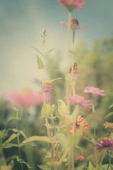 everyday distractions: unflappable..... (jeneksmith) Tags: dreamy muted soft natural nature colors monarch butterfly zinnias flowers canon