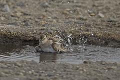 Baird's Sandpiper (JaneTurner68) Tags: bairdssandpiper sandpiper wader bird bath puddle davidstow davidstowairfield cornwall canon1dmkiv canon100400mmmkiilens