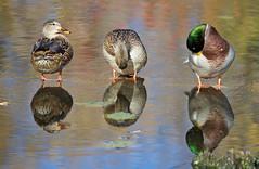 Three Stooges! Duck Version (CdnAvSpotter) Tags: ducks duck mallard mud lake wildlife ottawa ontario three stooges canoneos1dxmarkii canonpro 1dxii nature water reflection