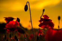 When I Grow Up (wolfi8723) Tags: mohn poppies field nature natur sunset sunshine sun flower