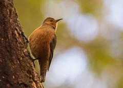 Rufous Treecreeper (Allan Drewitt) Tags: allandrewitt rufous treecreeper climacterisrufus western australia endemic