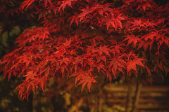 flaming red (clo dallas) Tags: flamingred leaves foglie autumn autunno plant outdoor allaperto vegetazione red japanesemaple acerogiapponese acerorosso sony