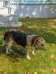 (johnjmurphyiii) Tags: 06416 autumn beagle connecticut cromwell fletch originaljpeg shelly sonycybershotdsch90 usa dog johnjmurphyiii