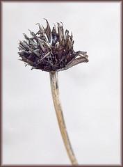 Dried Zinnia 10-02-16 (MelenaMe) Tags: zinnia flower driedzinnia stem plant nature seed seeds