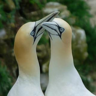 Gannets Bempton _DSC4229