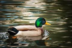 Eine Ente... (jansk1061) Tags: ente wild wildlife natur vgel