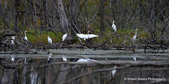 Great Egret Panoramic (Robert Spears Photography) Tags: greategrets birds wetlands poseyvilleroad midland wildlife