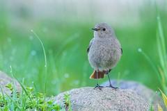 Kopciuszek, Black Redstart (Phoenicurus ochruros) ... 2016r (Rafa Szozda) Tags: birds nature animals wildlife colors spring nikon d7200 nikkor200500 nowasol lubuskie poland