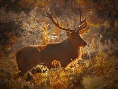 Red Deer (Dieseldog05) Tags: deer bradgate park leicestershire england onepointcolour panasonic lumix fz200 red