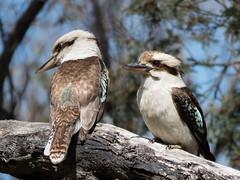 Kookaburra (CedricBear) Tags: birds forde australiancapitalterritory australia au wildlife birdrelationships