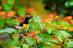 OH! Its you again.... (malc1702) Tags: purplerumpedsunbird sunbird birds animals wildlife smallbirds nature indianbirds asianbirds nikond7100 tamron150600 monsoons wetleaves bokeh colourfulbirds orangeflowers