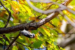 Upside Downy Woodpecker (Michael Bateman) Tags: kinnelon newjersey unitedstates us piciformes woodpeckers wildlife downey woodpecker ioc world birds michael bateman photography michaelbateman