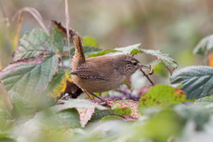 untitled (robwiddowson) Tags: wren bird birds animal animals nature robertwiddowson natural photo photograph photography image picture