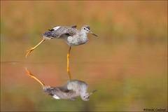 Greater Yellowlegs Stretch (Daniel Cadieux) Tags: yellowlegs greateryellowlegs reflection autumn fall shorebird stretch wingstretch ottawa beach river marsh