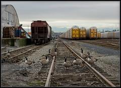 Just Hangin' With My Buddies (Ernie Misner) Tags: f8andloveyourgoose geese goose tacomawashington tacoma washington tideflats portoftacoma goosewhisperer erniemisner nikon d800 nik