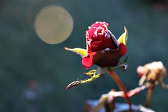 A rose by any other name... is a frosted beauty (Peter Denton) Tags: rose winter frost red flora nature flower rosebud peterdenton canoneos100d winterwonderland