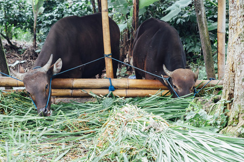 Two Cows Grazing, Indonesia