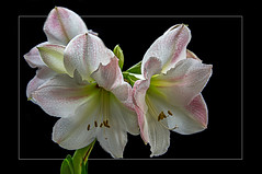 The Amaryllis opens her soul... (scorpion (13)) Tags: amaryillis flower blossom nature color creativ photoart plant frame winter living room