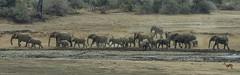 On The Move (philnewton928) Tags: africanelephants elephants herd elephantherd loxodontaafricana mammal animal animalplanet wild wildlife nature natural satara kruger krugernationalpark africa southafrica outdoor outdoors safari nikon nikond7200 d7200 waterhole