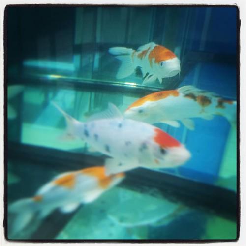 Carpe diem - karpe koi #karpekoi #carpekoi #carpa #carpakoi #karpakoi #laghetto #animals #fish #pescilaghetto #pesciacquafredda #coldwaterfish