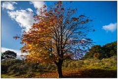 Boom in de herfst AWD (voorhammr) Tags: 2016 annevandermeyden amsterdamsewaterleidingduinen blauwelucht herfst herfstkleuren herten spinnenweb zwanen