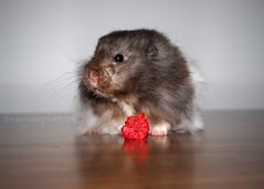 Pi, March 2014 - November 2nd 2016 (.annajane) Tags: pi pet hamster cute raspberry mesocricetusauratus syrianhamster furry
