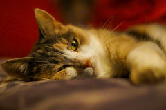 Trying to catch some sleep - get it?! (m3dborg) Tags: cat cats pet pets animals animal bokeh indoor indoors natural light closeup depthoffield sony a77ii 50mm f14 prime lens