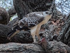Tanzania_Z7_1194 (Pixelatr) Tags: tanzania manyara 2016 juvenile marshall eagle eating mongoose