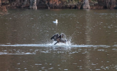 Cormorant flapping his wings and splashing water (adirondack_native) Tags: cormorant wings splashing water stumps