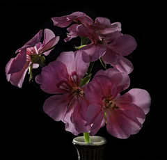 Glowing Pink Geranium (Bill Gracey) Tags: glowing glow backlit backlighting translucent petals fleur flower flor flowers offcameraflash homestudio macrolens yn560iii blackbackground color colorful softbox lastoliteezbox yongnuorf603n tabletopphotography nature naturalbeauty cranesbills